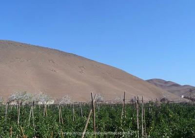 Geoglifos de Cerro Sombrero, valle de Azapa