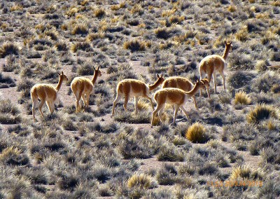 """FONDECYT REGULAR N° 1151046 """"Consumo integral de animales en la prehistoria del extremo norte de Chile: una perspectiva interdisciplinaria a través de diferentes líneas de evidencias (ca. 1000 a 1400 d.C.)"""" 2015-2019"""